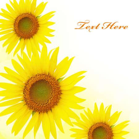 Yellow sunflowers background Stock Photo - 14033297