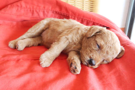 Poodle puppy sleeping on red background