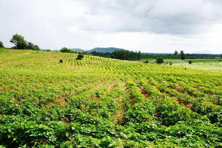 Landscape Cassava field Stock Photo