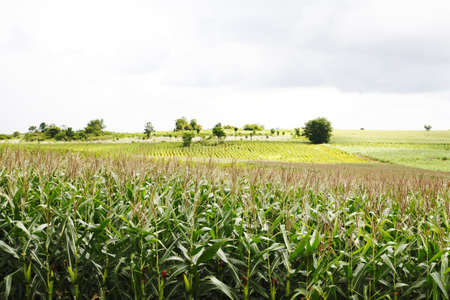 Landscape of corn field