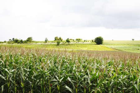 Landscape of corn field