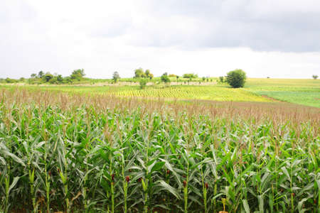 Landscape of corn field Stock Photo - 14033795