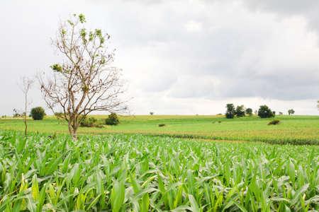Landscape of corn field Stock Photo - 14033738