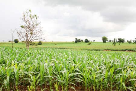 Landscape of corn field Stock Photo - 14033789