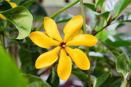 Golden gardenia flower Stock Photo - 14033678