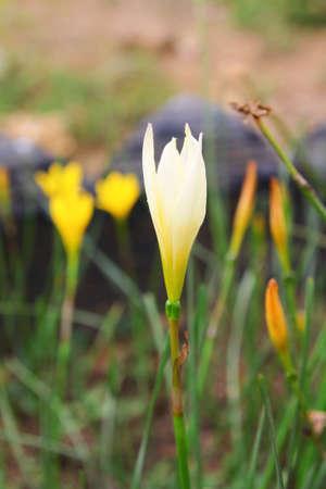 Yellow Rain Lily (Fairy Lily) photo