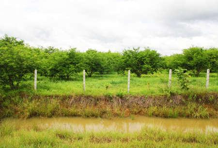 Tamarind field