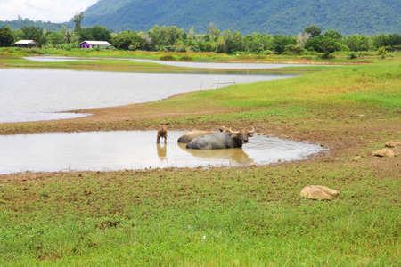 non urban: Non urban landscape. river , mountain amd buffalo