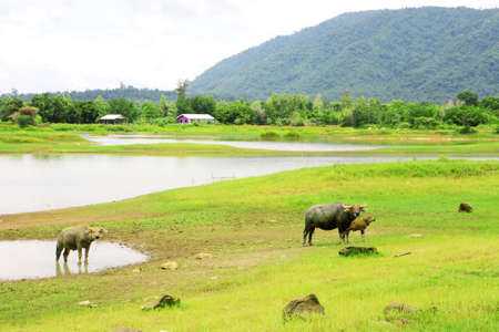 Non urban landscape. river , mountain and buffalo Stock Photo - 14305280