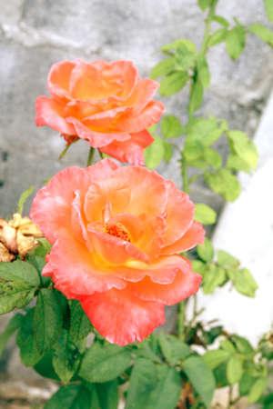 Orange rose closeup
