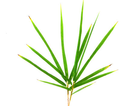 Bamboo leaves on isolate background Stock Photo