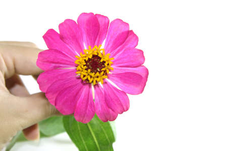 Zinnia flower on isolate background Stock Photo