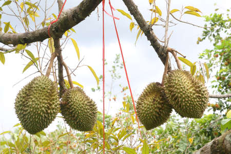 Durian the king of fruit on Durian tree