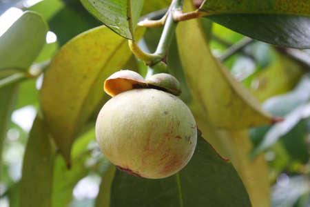 Young Mangosteen , Queen of fruit