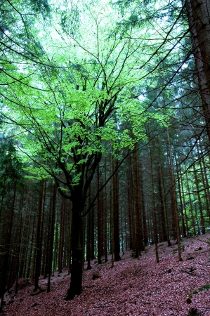midst: beech in the midst of coniferous forest