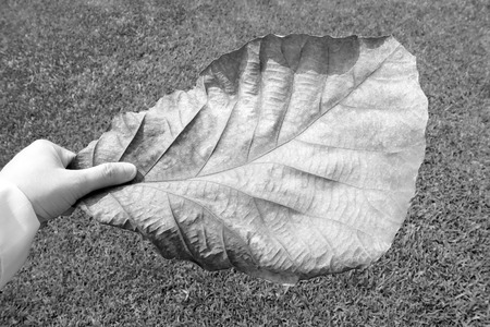 grapple: Hand hold a leaf : Black and White tone Stock Photo
