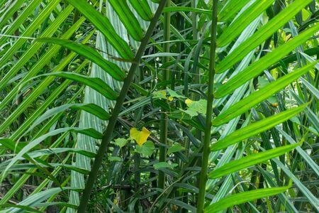 Mangrove Palm or Sugar Palm or Nipa Palm or Nypa fruticans Wurmb. leaves in mangrove forest. Stock fotó