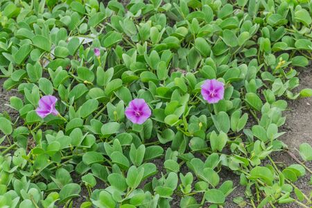 The purple flowers of morning glory, Goat's foot or Ipomoea pes-caprae, plants creeping on the ground in an early morning. Juice from leaves can be used as medicine to cure toxic from jellyfish or Chrysaora.