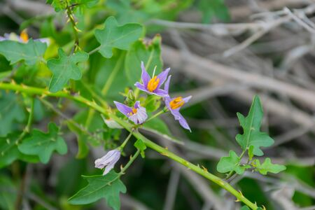 Solanum trilobatum is a thorny, much-branched, straggling shrub or climbing plant with stems.