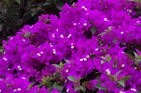 Bougainvillea is a climbing plant that has thin, red or purple flowers and grows mainly in hot countries, such as Indonesia and Brazil.