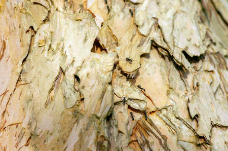 Tree bark of of Melaleuca cajuput and ants in shallow focus for natural background