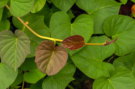 Sweet potato (Ipomoea batatas) leaves, called Ubi Jalar in Indonesia, is a plant grown for its tuberous roots in tropical, subtropical country, a versatile vegetable that has high nutritional value.