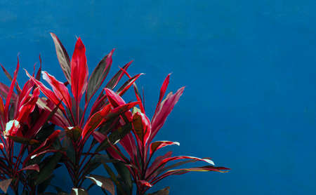Hawaiian Ti Plants (Cordyline minalis) in bright color with blue wall background