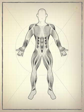 Male Muscular Anatomy Vector Scheme Drawing Of Proportion Man