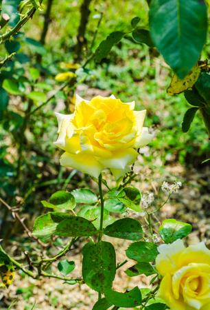 Yellow Rose, queen sirikit botanic garden, Chiang Mai, Thailand