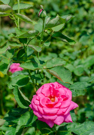 Pink Rose, queen sirikit botanic garden, Chiang Mai, Thailand