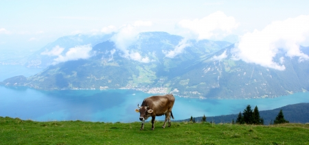 cow in thee mountains