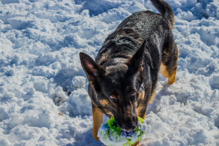 German shepherd holding toy in the snow Imagens - 95726268
