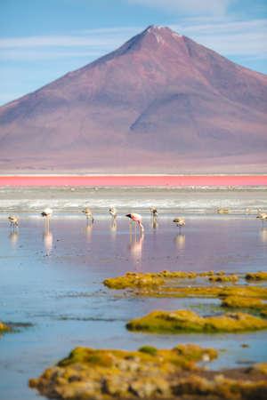 borax: Flamingo - Laguna Colorada - Bolivia