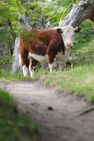 chalten: Lone cow on the trail - Chalten - Argentina