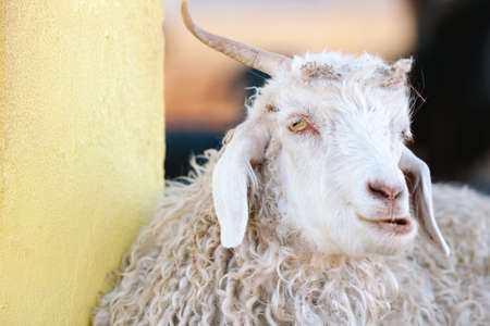 animal idiot: Funny looking horned sheep in Patagonian Argentina