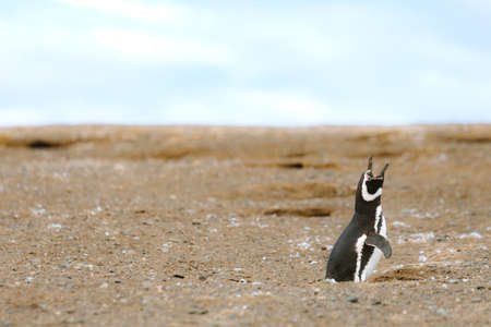 squawk: Lone penguin screams in the air on Magdalena Island, Chile
