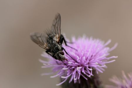 Fly eating the nectar of a thistle flower Stock Photo