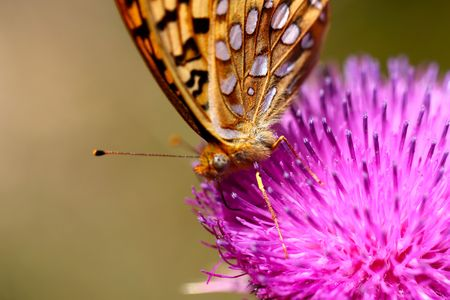 A beautiful monarch butterfly on a thistle flower