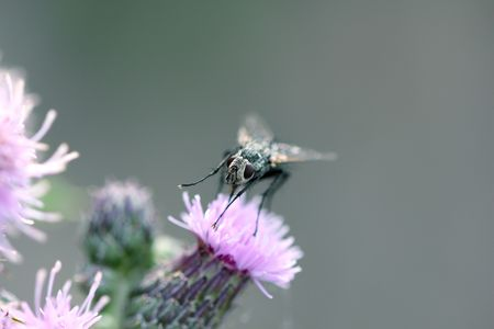 Close up of a fly on a thistle flower