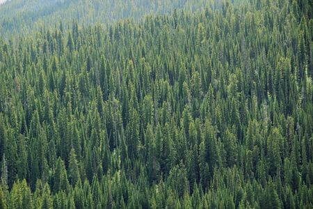 A pine tree forrest on a sunny hillside Фото со стока