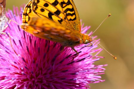 A Monarch Butterfly perched on a thistle