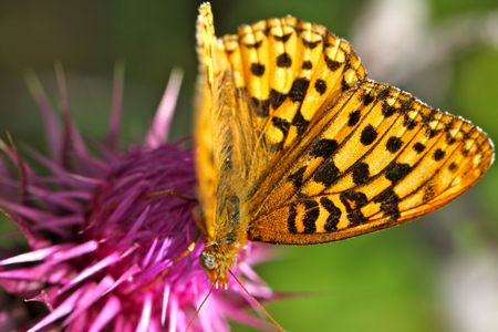 Beautiful monarch butterfly on thistle flower getting nectar