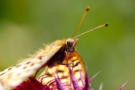A butterfly drinking nectar from the flower on a thistle