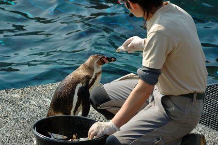nourishing: Woman nourishing a penguin with fishes