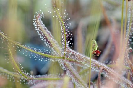 drosera carnivorous plant macro. it has developed sticky leaves with powerful glue of resin photo