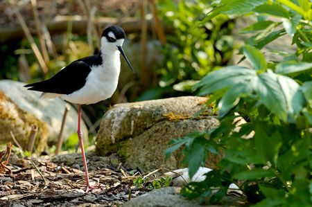 nape: Black-necked Stilt with White spot above eye in dark cap. The Black-Necked Stilt is a dark-backed shorebird with a long neck and a thin, straight black bill. Stock Photo