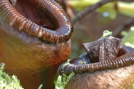 A macro of a carnivorous plant : the Nepenthes Ventricosa Stock Photo - 1017991