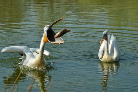 swallowing: A white pelican swallowing a big fish