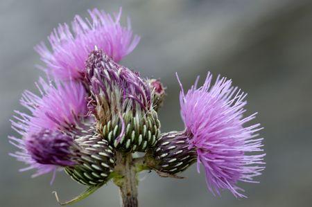 centaurea: Centaurea scabiosa linne (a french Alp flower)