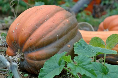 red pumpkin in a garden Stock Photo - 1051898